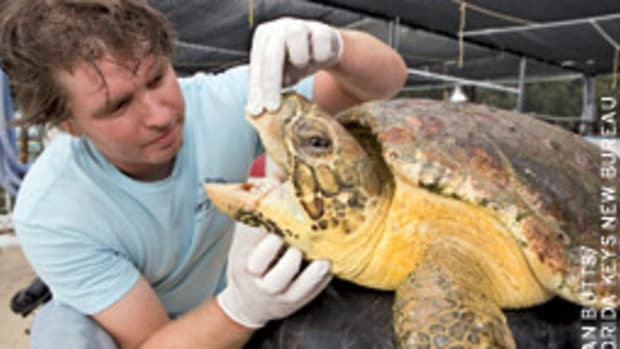 The turtle hospital staff found this sick turtle near the facility.
