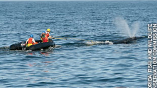 Rescuers removed about 670 feet of line from a right whale - one of only 300 to 400 left in existence.