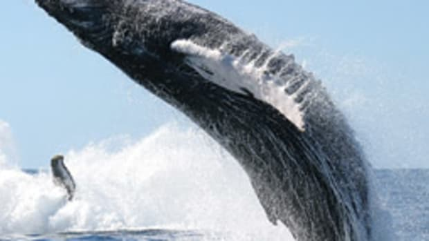 It's not unusual for whales to breach, like the humpback above. It is rare, however, for a whale to land on a boat.