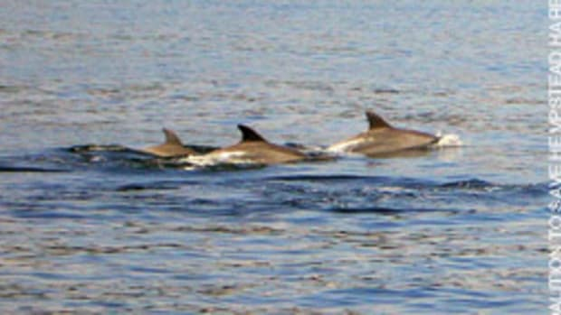 Long Island boaters were amazed to encounter a pod of about 200 dolphins in Hempstear Harbor.