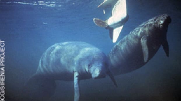 Of the 767 Florida manatee deaths in 2010, 83 were boat- or ship-related.