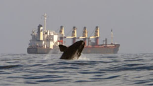 A right whale breaches off Jacksonville, Fla.