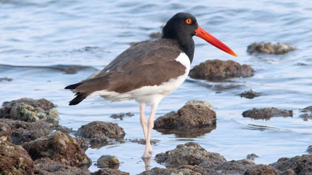 American-oystercatcher-WEB-EDIT