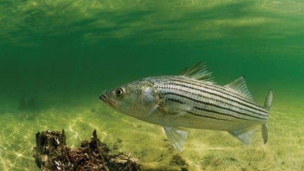 Soundings---Striped-Bass-©-Jay-Fleming--02