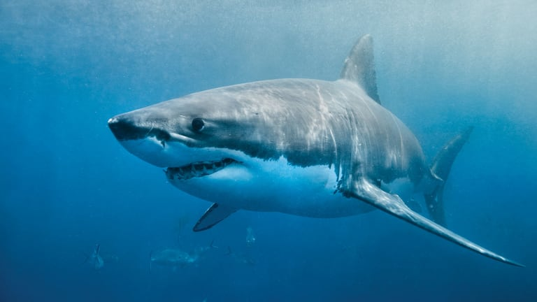 Shark-Spotting Boat Owners Wanted