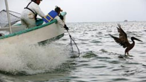 Wildlife seervice personnel prepare to net an oiled pelican off Louisiana.