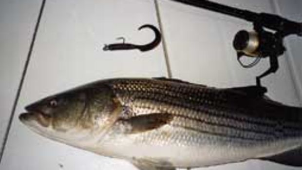 This nice bass grabbed a plastic worm along the rocky shore of Fishers Island, N.Y.