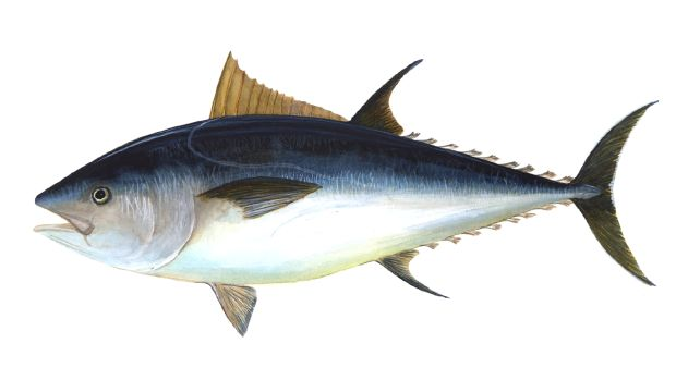 Bluefin-big