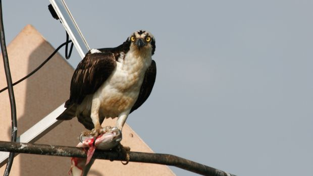 Photo of Osprey with fish in its claws