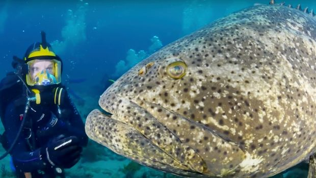 Goliath_Grouper