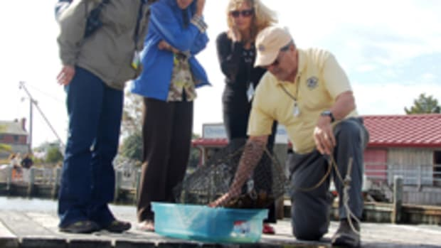 Chesapeake Bay Maritime Museum volunteer docent Joe Irr pulls an oyster cage from Fogg's Cove in St. Michaels during a museum tour.