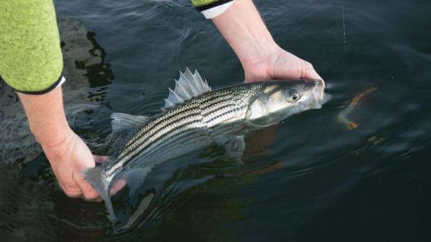 striper-fish