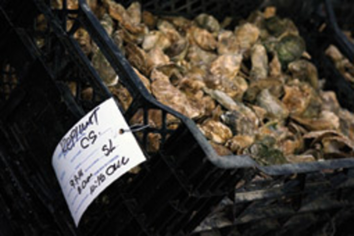 Undersized oysters tagged by Ballard Fish & Oyster Co. for replanting