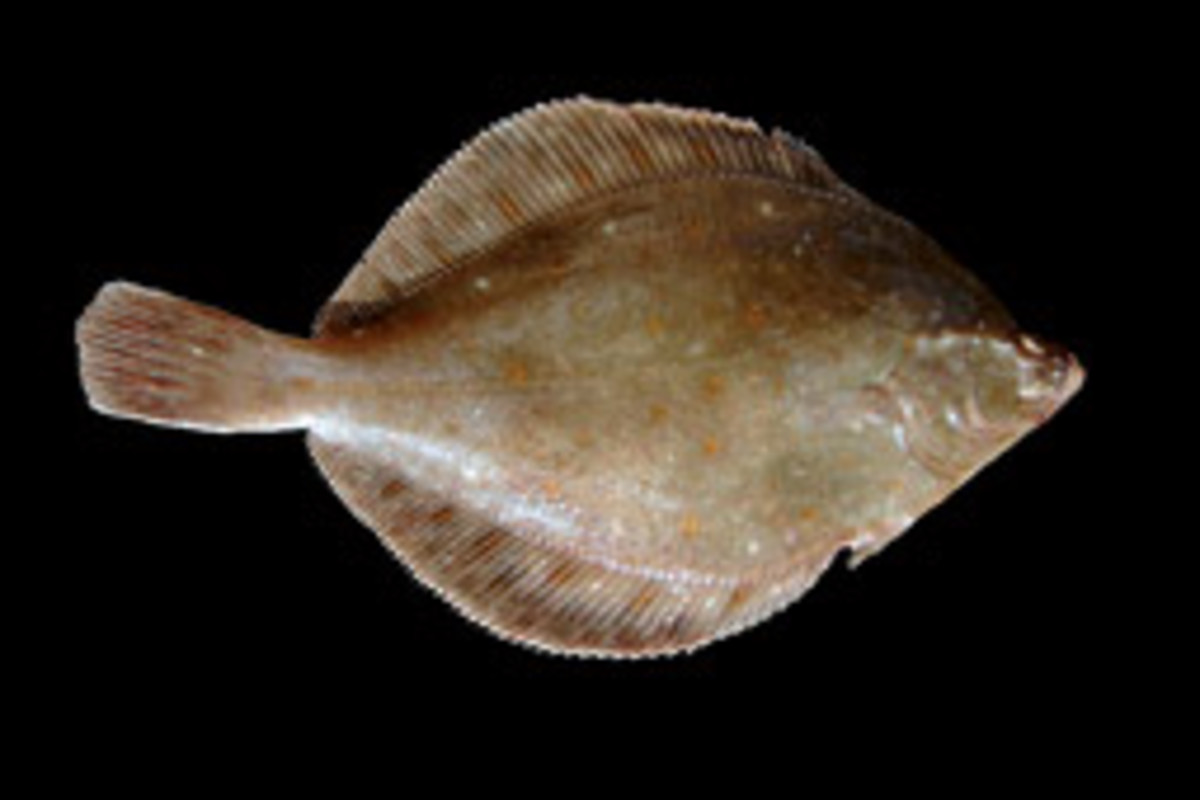 The yellowtail flounder is being overfished, according to the National Marine Fisheries Service.