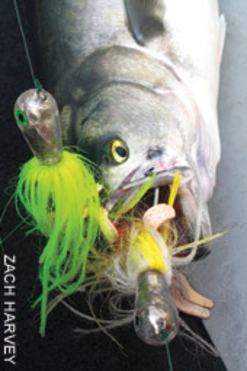 Two jigs, one bluefish: The 'animated chopping machine' strikes again.
