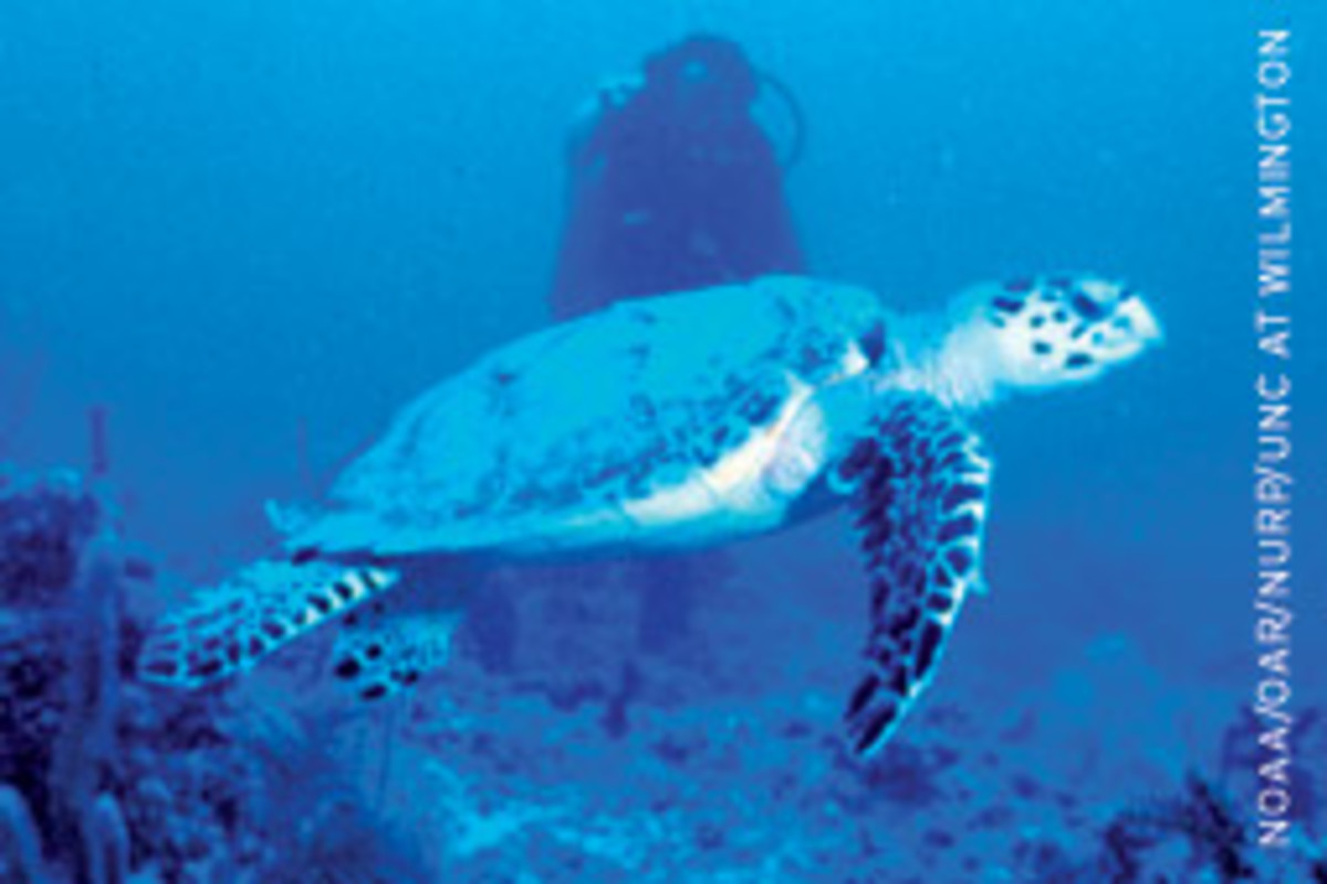 An endangered sea turtle cruises a coral reef in the Florida Keys.