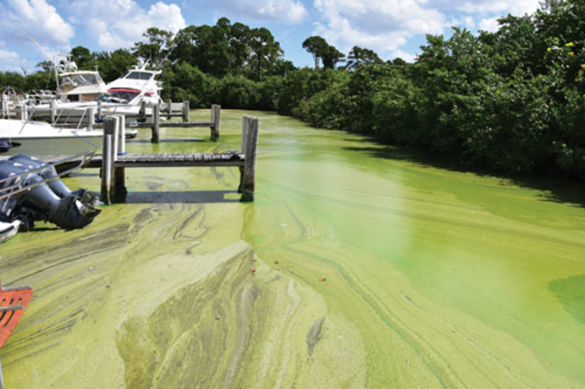 The algae bloom on the St. Lucie River clogged engine intakes on boats.