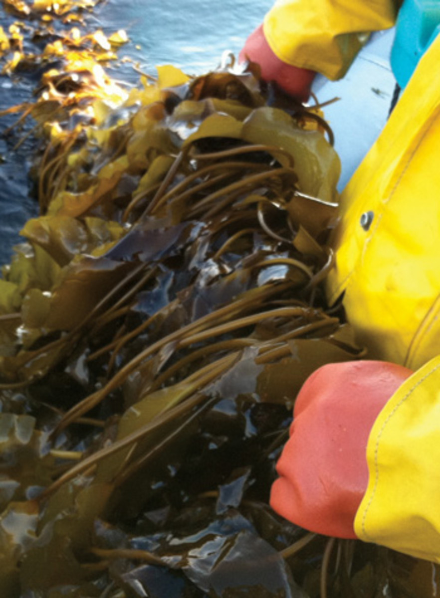 Cultivated kelp will make its way to restaurants across the country.
