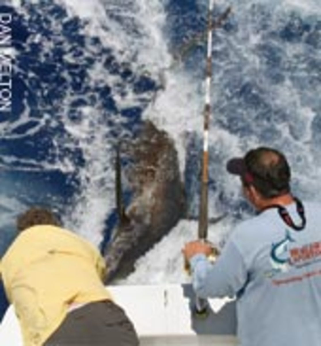A blue marlin, estimated to weigh about 400 pounds, is released by the Contingent Sea crew and owner Clayton Syfrett of Panama City, Fla.