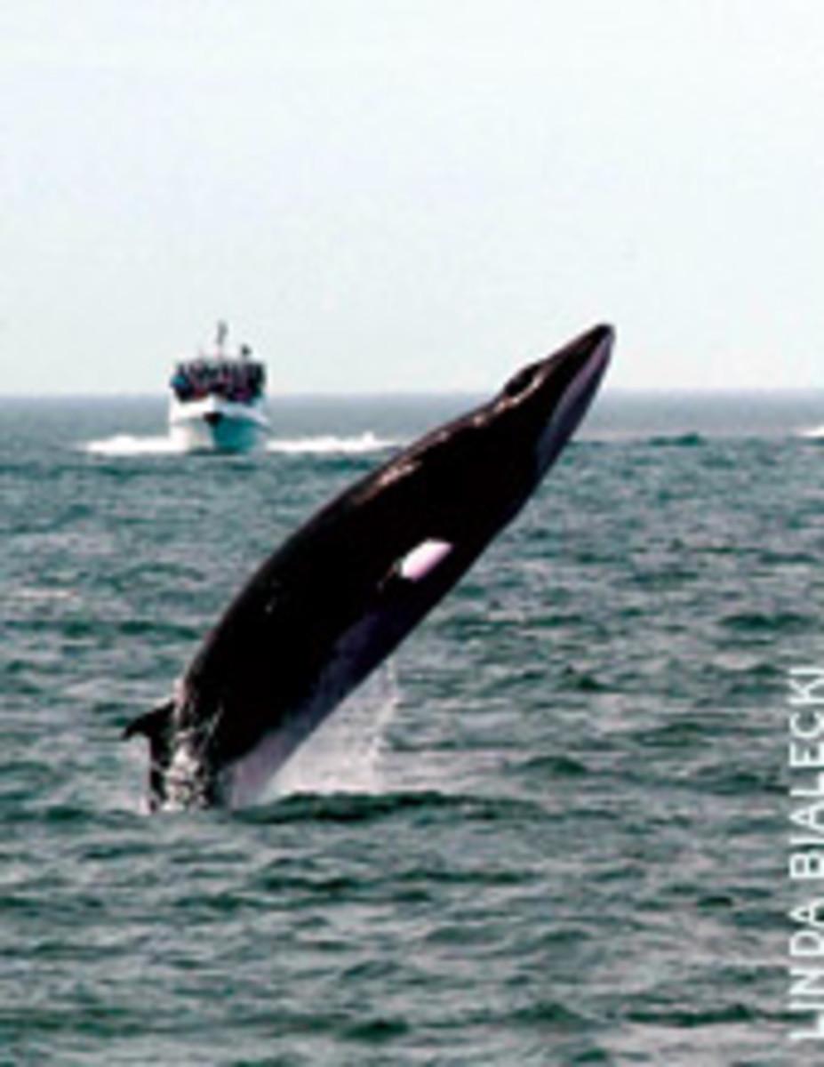 An acrobatic whale near Tadoussac, Quebec