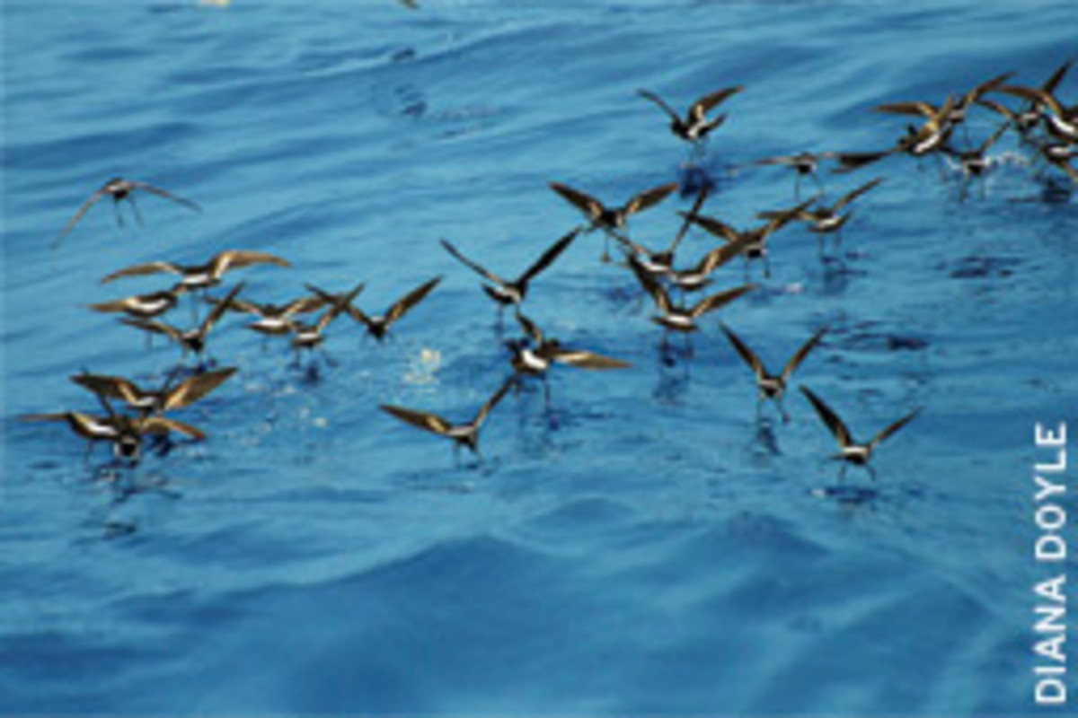 Wilson's Storm Petrels are common pelagic birds. They tiptoe across the surface of the ocean as they feed,