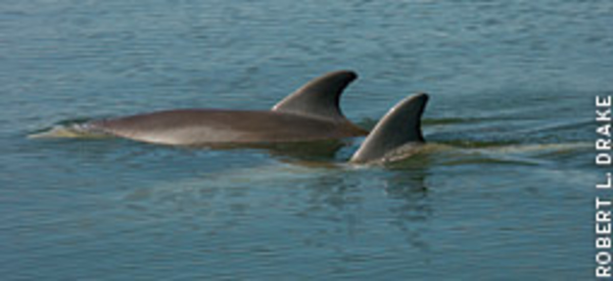 Dolphins are common in the Indian River Lagoon.