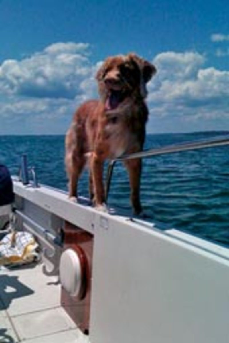 Tiller, a 5-year-old Nova Scotia duck tolling retriever, is often on the Connecticut River with Susan and Cliff Bockard of Duxbury, Mass.