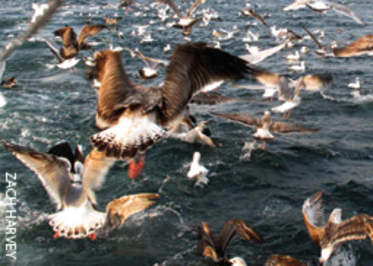 A bird blitz means there's sea herring, and that means big fish further up the food chain.