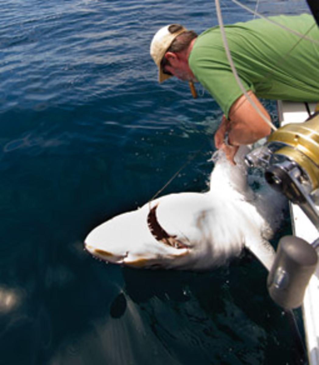 Sisson retrieves a tag from a blue shark.