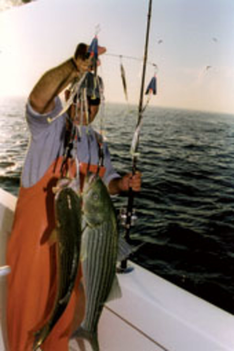 Capt. Jimmy Koutalakis trolled up these bass off Monomoy in Nantucket, Mass., on his way home from a cod fishing trip.