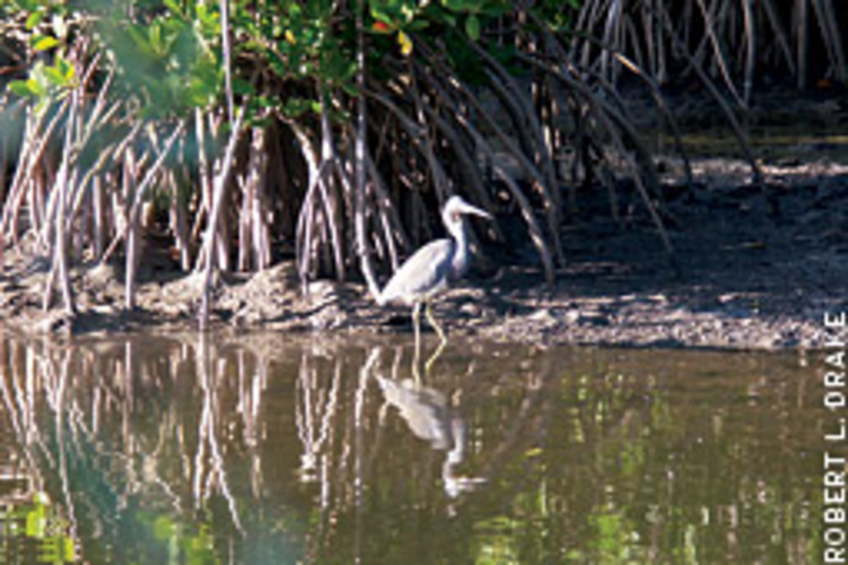 Great blue herons are a common sight.