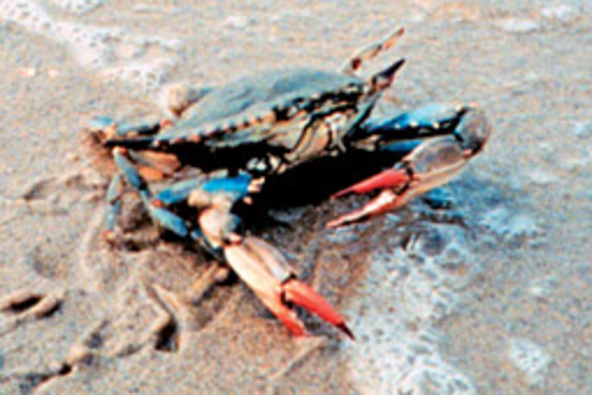 The blue crab is the focus of a rebuilding effort by the State of Maryland.