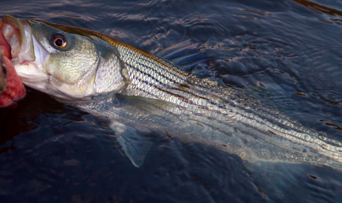Despite the abundance of striped bass, catching them with certainty requires respectful attention.