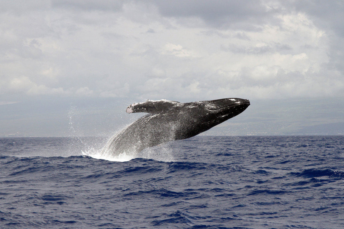 With more whales swimming around inshore waters, boaters need to know how to safely enjoy them. Photo courtesy of NOAA