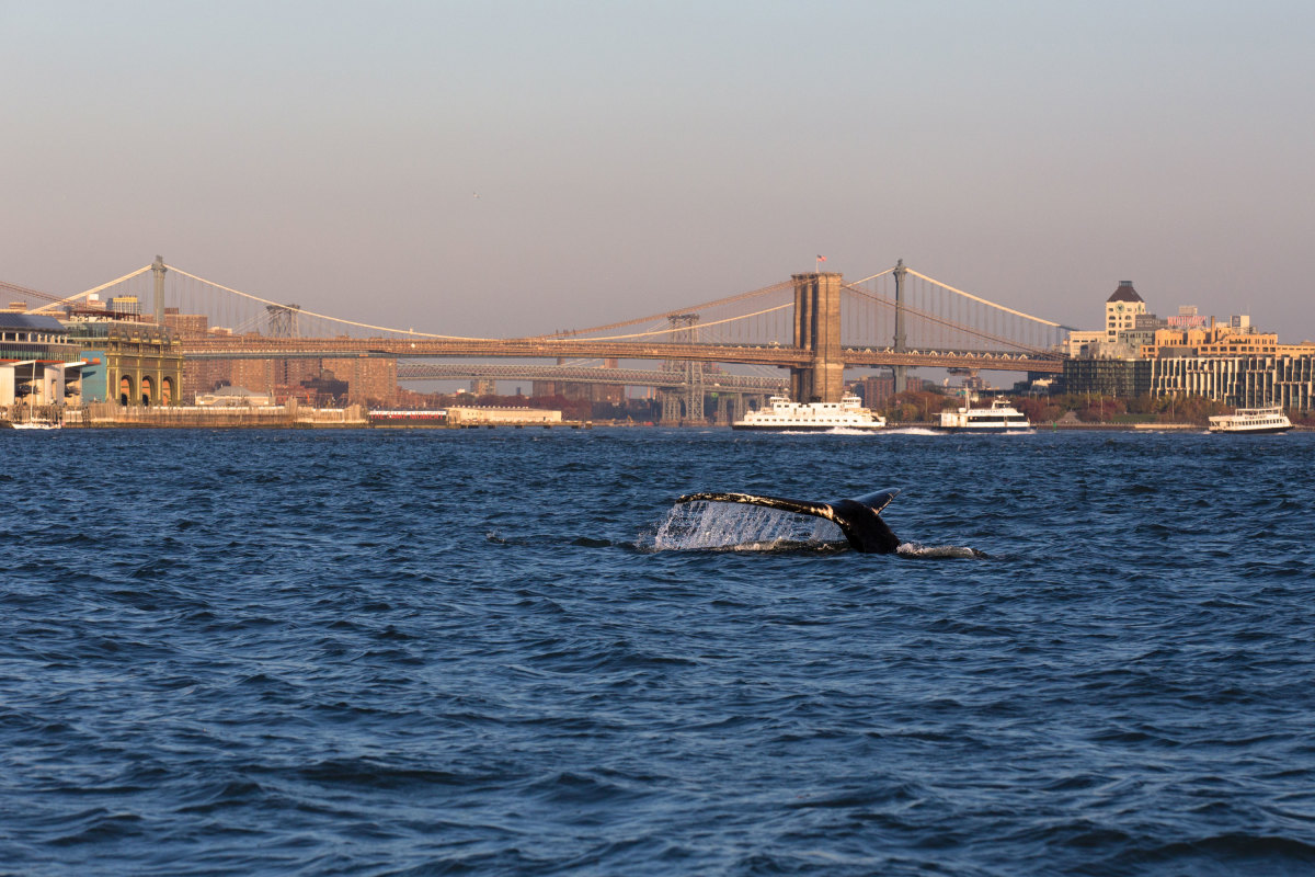 A humpback in New York waters caused quite a stir last November photo