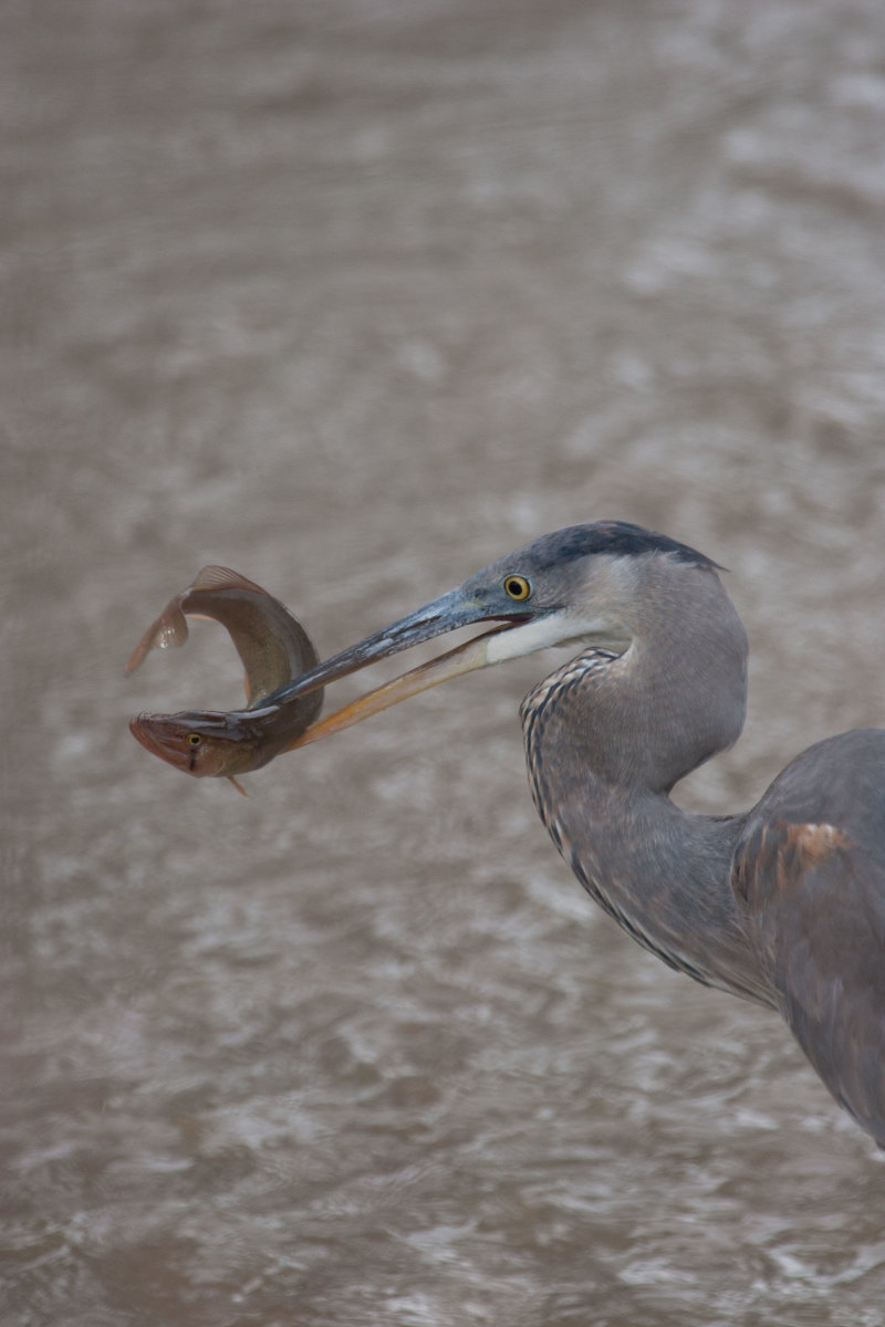 The great blue heron — shown here  with a with a chain pickerel — is a year-round resident of Bay waters.