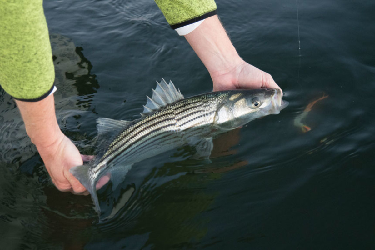While most folks hunt trophy-sized fish, there are plenty of smaller stripers around.