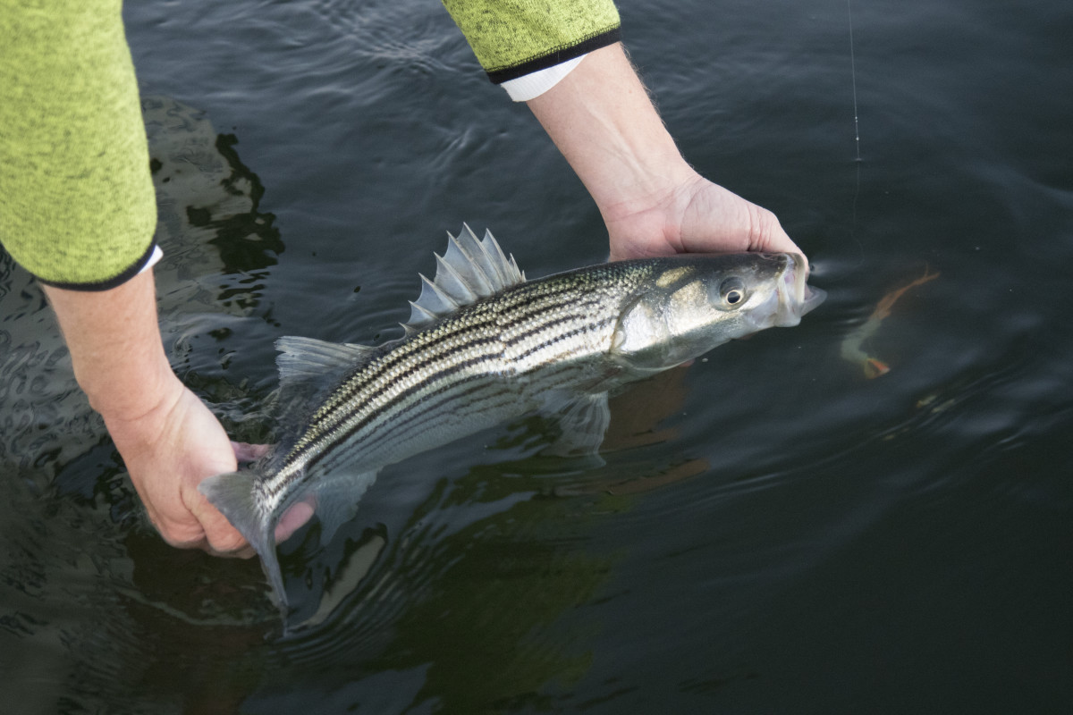 Releasing a keeper-sized Chesapeake Bay striped bass.