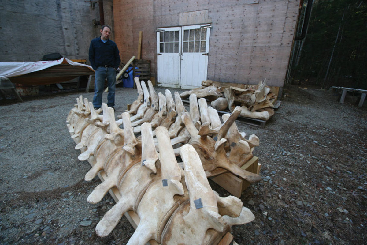 Dan DenDanto makes use of  cleaned whale bones to assemble educational exhibits.