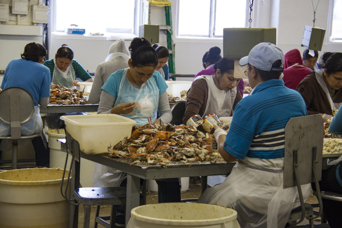 Guest workers from Mexico have been teh backbone of teh crab-picking business in Chesapeake Country since teh 1980s.