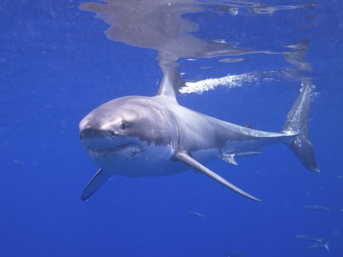 Great_White_Shark_(14730762278)