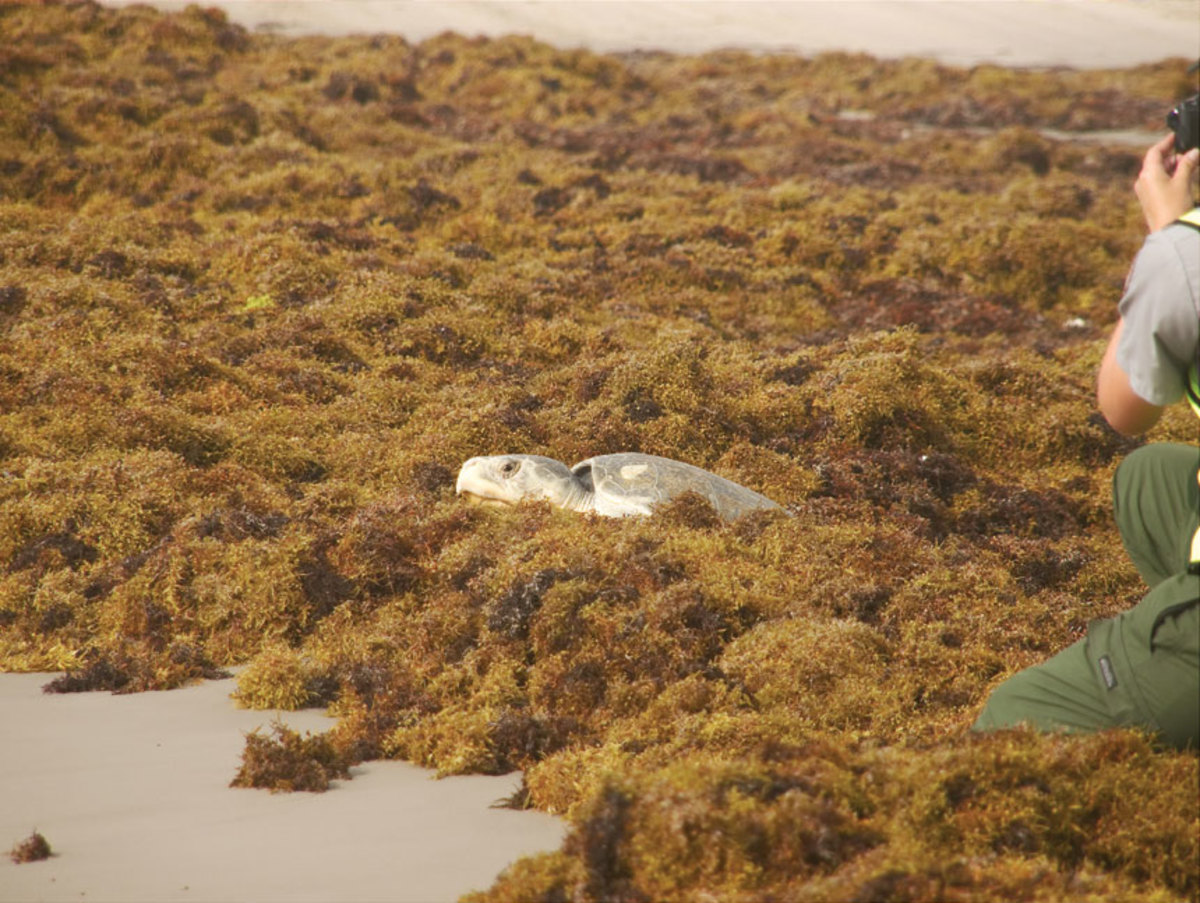A Kemps Ridley turtle navigates  the sargassum on a Corpus  Christi, Texas beach.
