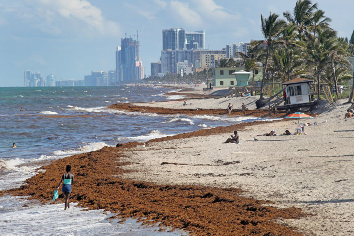 Sargassum is piling up on beaches in the Caribbean, Gulf of Mexico and Florida, including Dania Beach.