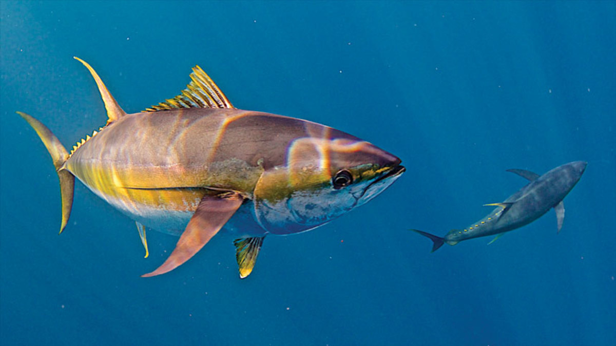 Savvy sport anglers are using professional-grade sonar systems to locate tuna and other species.
