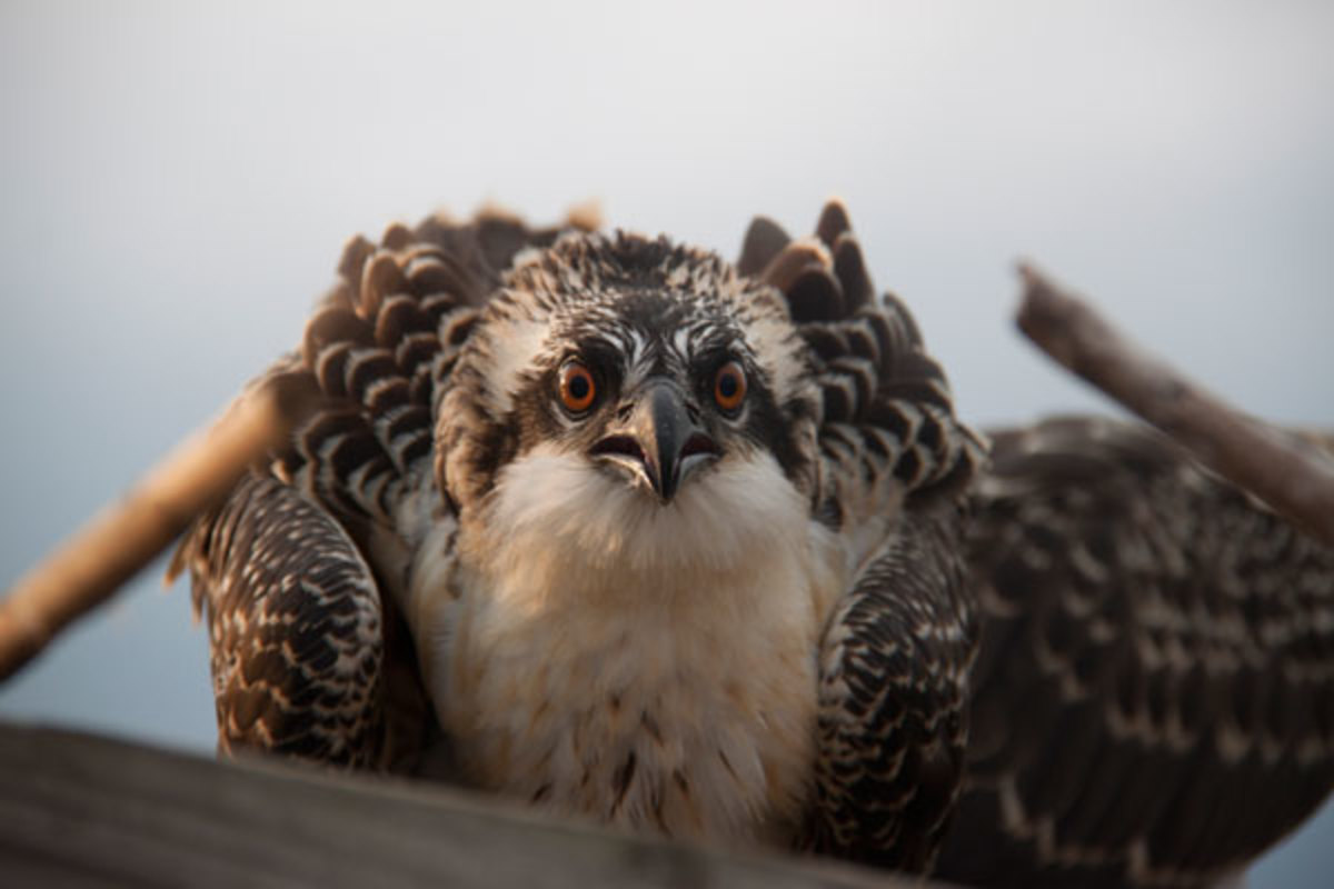 A young osprey peers out of its nest with an intense stare. Osprey migrate back and forth from the Chesapeake Bay to South America every year.
