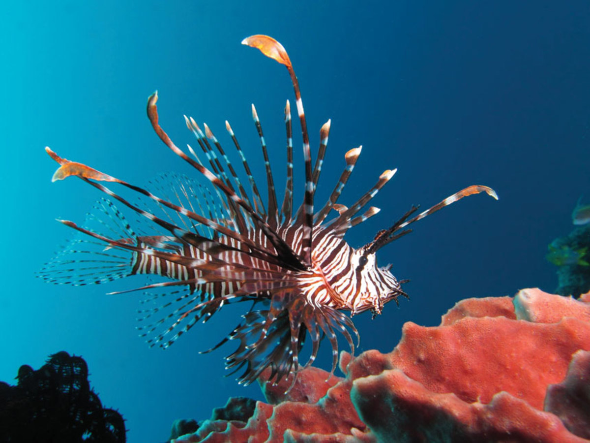 red-lionfish