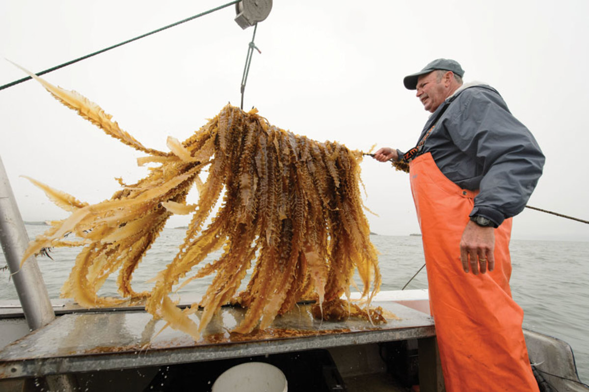The ideal location for kelp farming off the East Coast is from New York to the Canadian border.