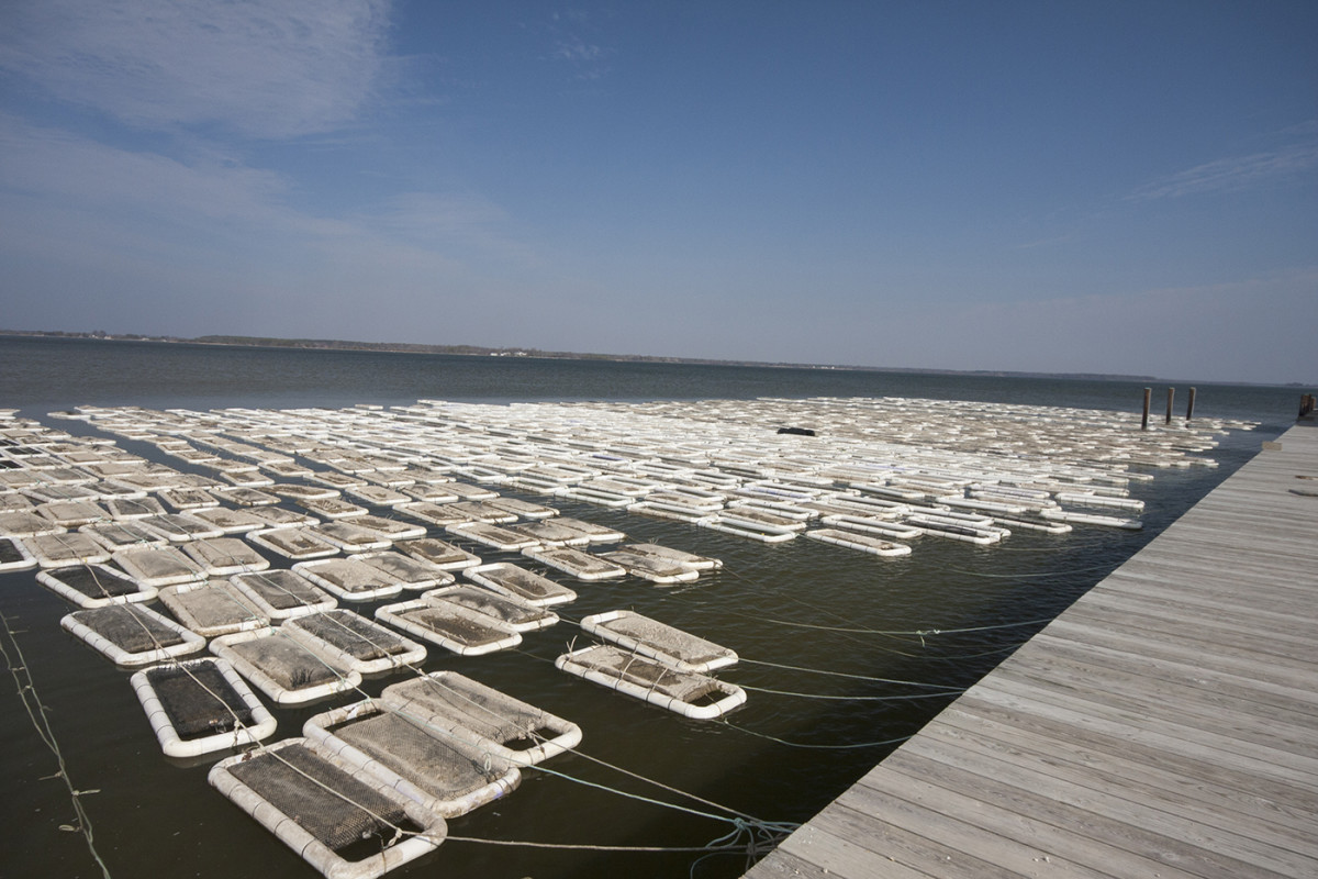 A large-scale oyster farming operation on the Chesapeake Bay's Choptank River.