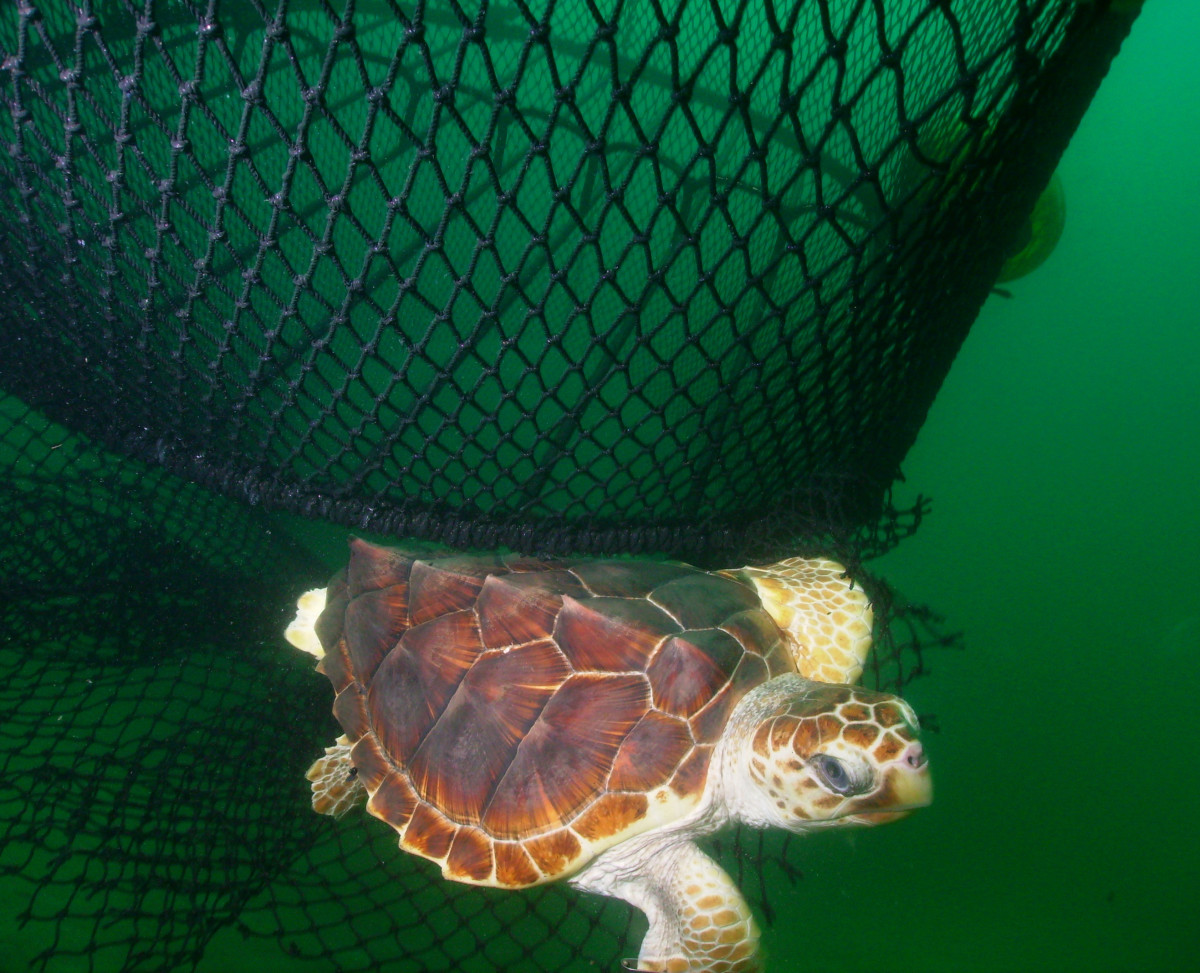 A loggerhead turtle swims free of a fish net using an excluder device.