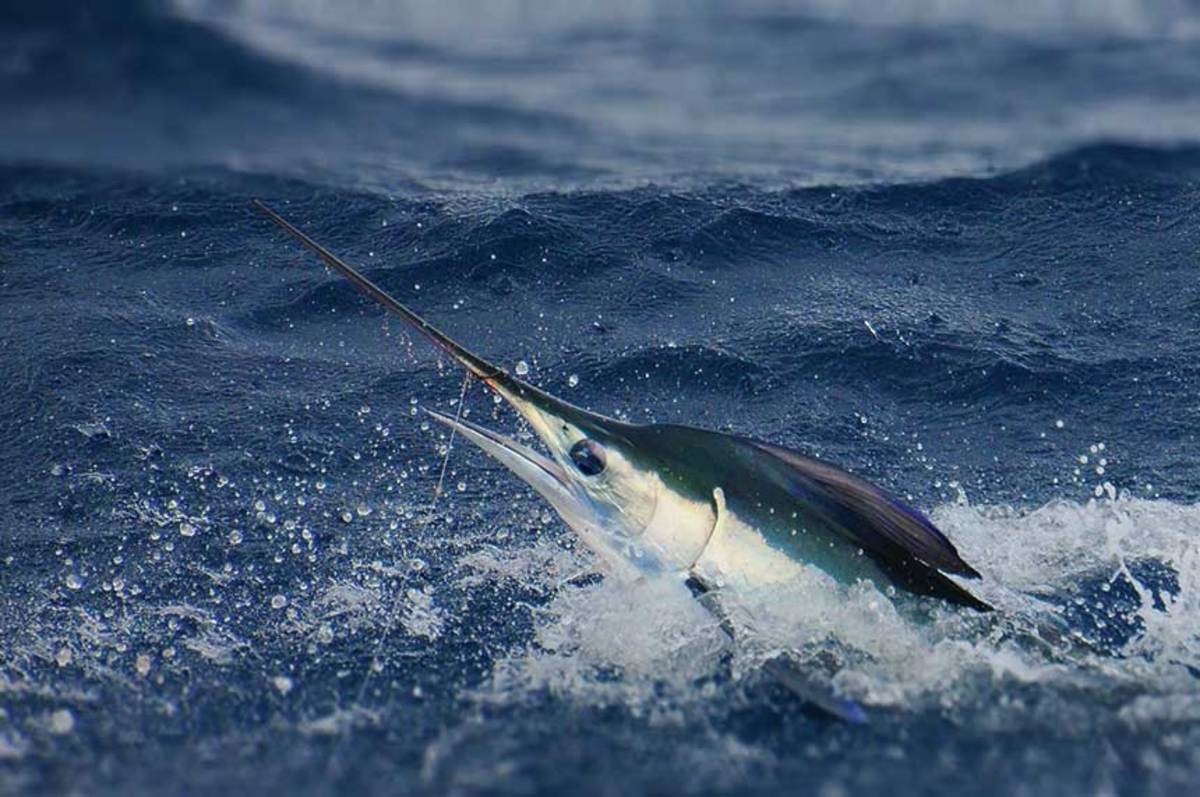 Healey's obsession with billfish and billfish tournaments was 25 years in the making; marlin remain a favorite species.